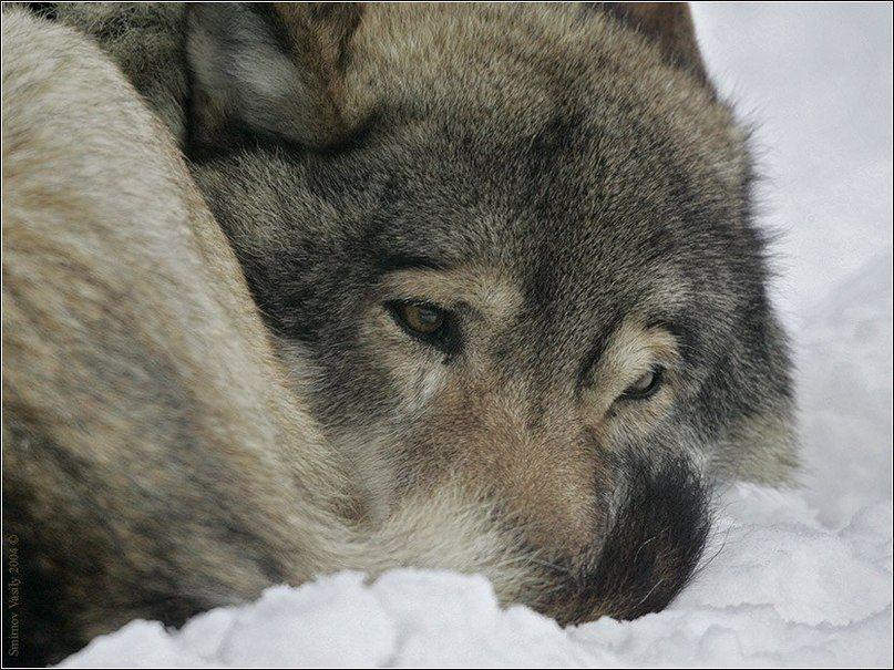 шины кордиант фото грустных волков цветов