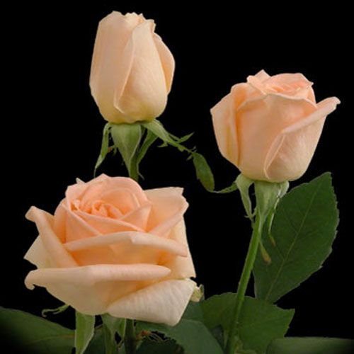 Osiana Rose