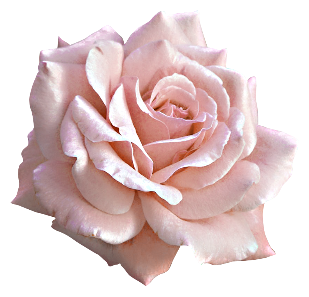 Pin by Linda Alter on Pink roses in 2019 | Pink rose png