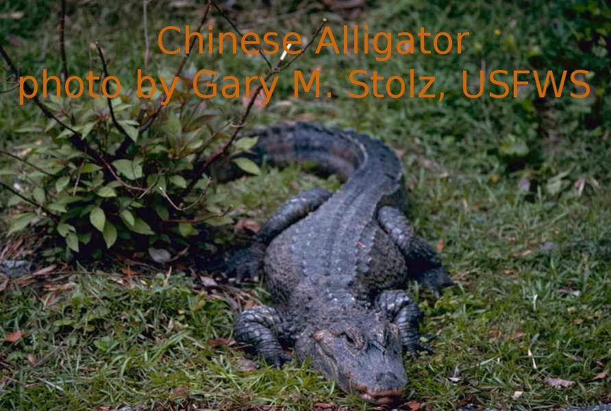 There are only two countries on earth that have alligators: the United States and China.