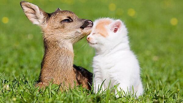 Baby deer meets a kitten