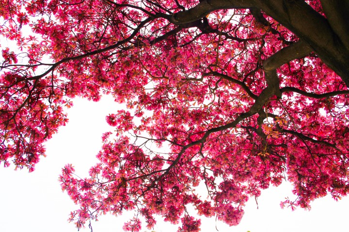 Free Stock Photo Of Looking Up At Cherry Blossom Tree Branches Blossom Trees Cherry Blossom Tree Cherry Blossom