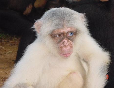 323680c777e White Chimp