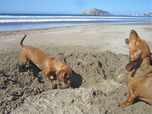 Caeli Is Suggesting That Carmeh Dig Faster Dachshund Weenie