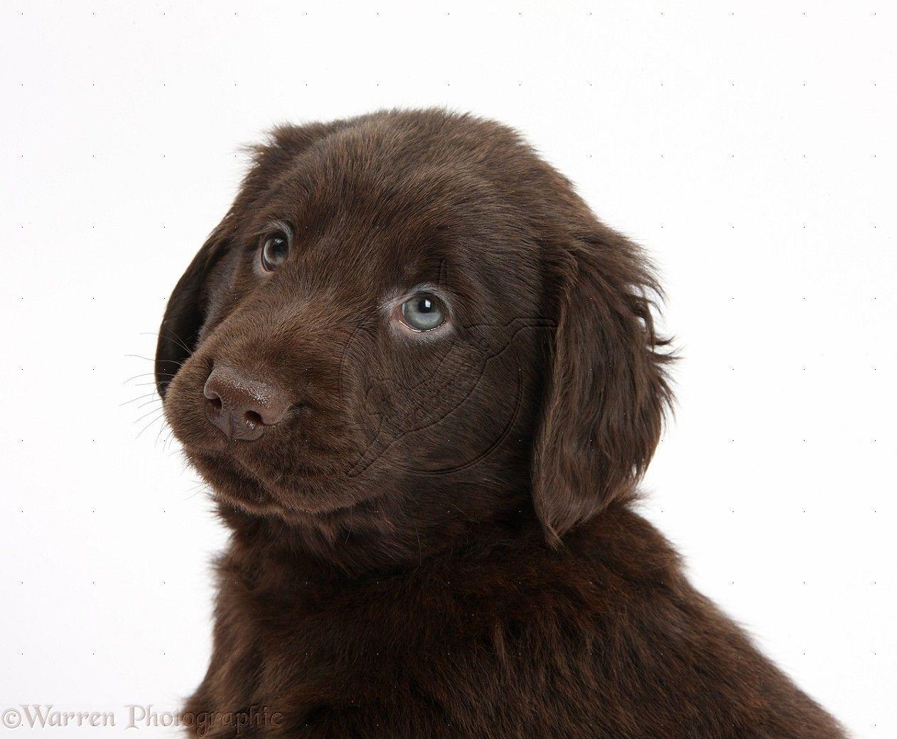 liver flat coated retriever Google Search Retriever puppy