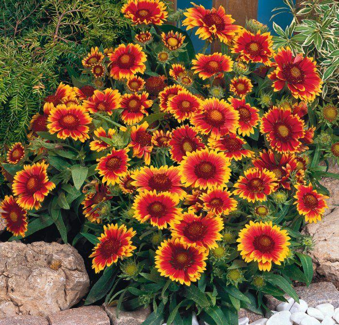 sommerblumen gartenpflanzen pflegeleichte blumen garten - gartenpflanzen