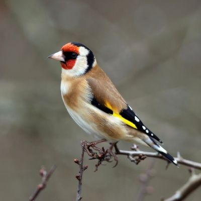17 Best images about British garden birds on Pinterest English