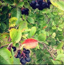 Aronia: Shrub, edible blueberry-sized fruit Forest Agriculture Enterprises (Mark Shepard)