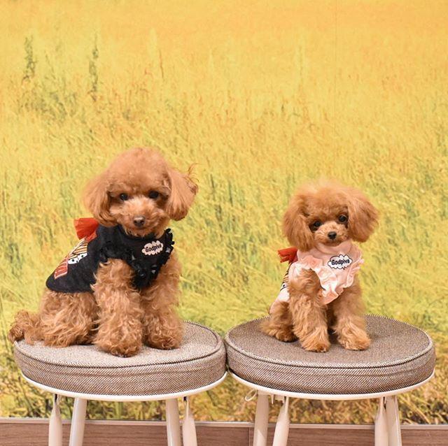 Babu Rose 1 3 と600グラム ティーカッププードル トイプードル プードル 犬 Dog ワンコ 愛犬 ワンコなしでは生きていけません 犬バカ 犬バカ部 タイニープードル Teacuppoodle Toypoodle Poo Toy Poodle Poodle Animals