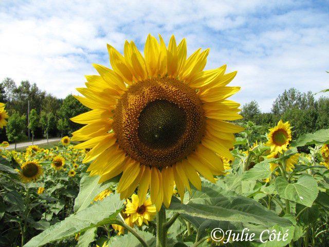 Sunflower Julie Côté - August 2009