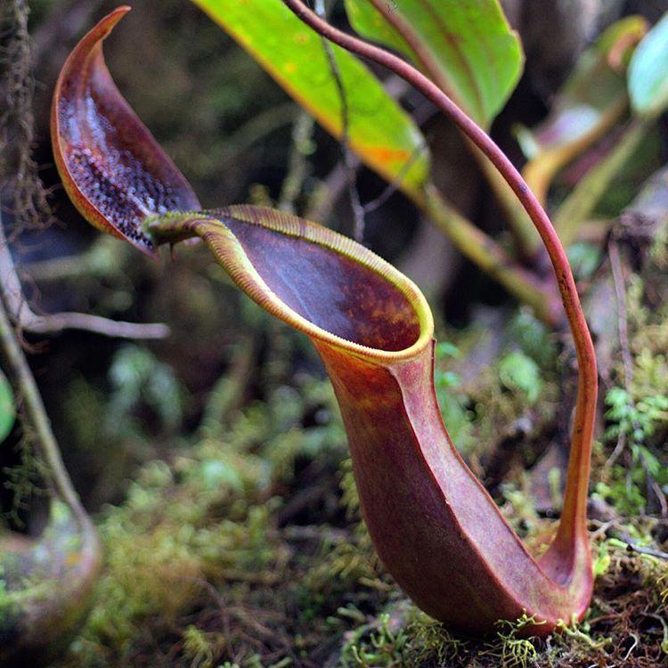 Nepenthes ephippiata