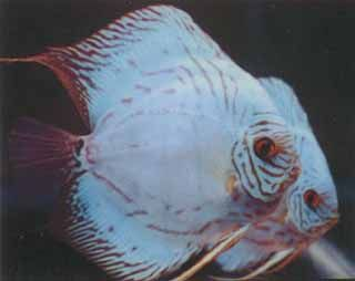 High Fin Cobalt Discus, Mac's Discus, Discus Fish Breeder
