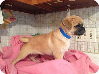 Mack 4 Adopted Puppy St Louis Mo Pug Pomeranian Mix