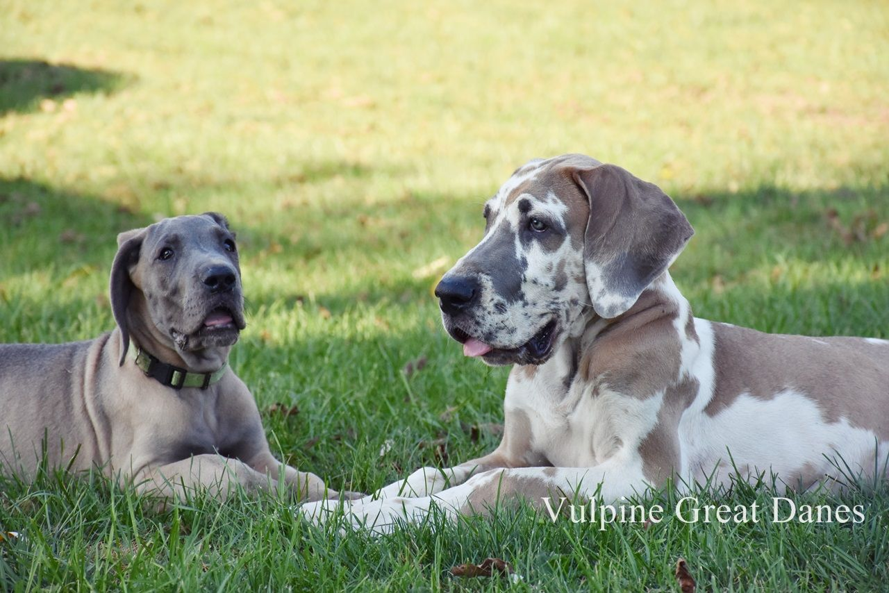 Blue Fawn Great Dane Girl With Blue Fawn Harlequin Great Dane Boy