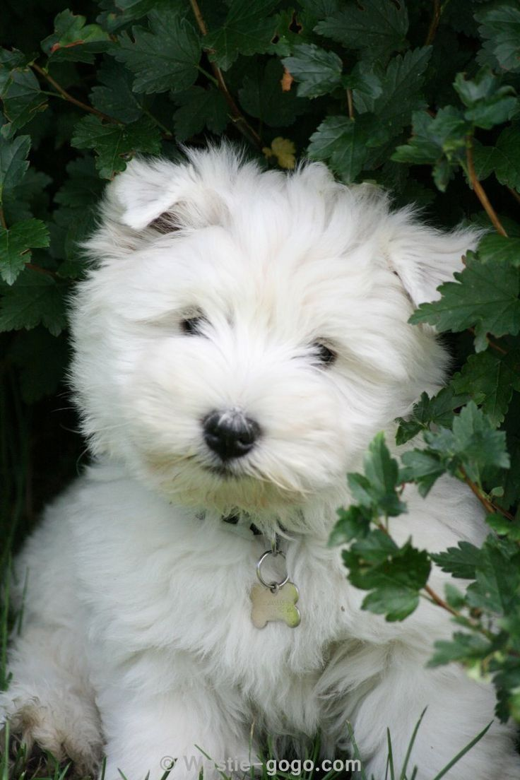 Fresh Farmhouse Westies Dogs Dogs And Puppies