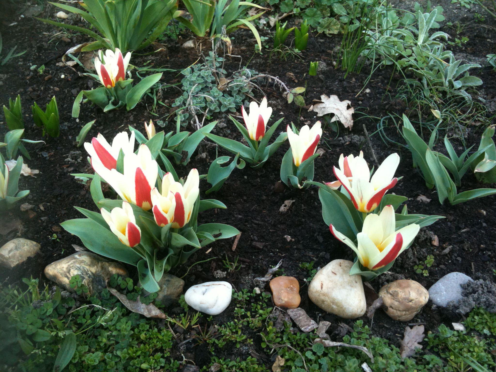 Tulipes botaniques The First Bulbes de printemps