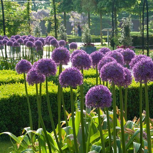 Allium Gladiator Allium Flowers