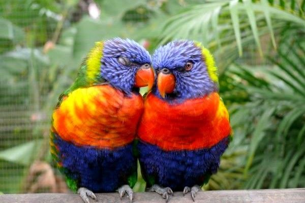 signs of #parrot mating and parrot behavior