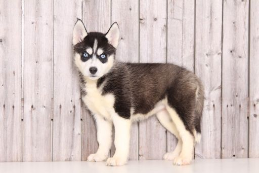 Siberian Husky Puppy For Sale In Mount Vernon Oh Adn 28498 On
