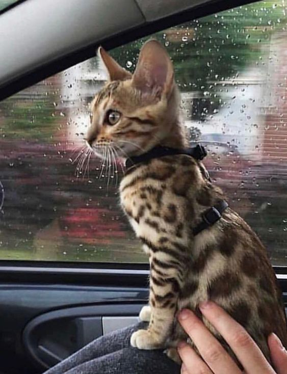 14 Unexpected Facts About Bengal Cats
