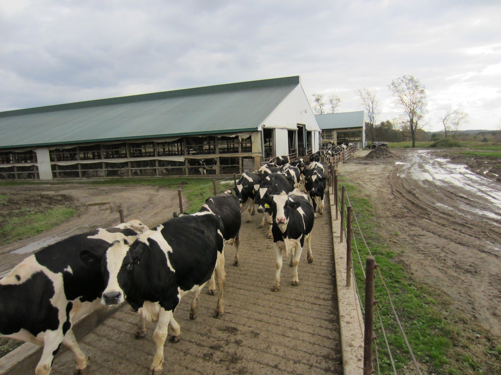 Cows in milking parlor cows walking from their barn to the milking parlor