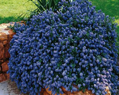 ceanothus repens 380 couvre sol soleil pinterest couvre sol arbuste et couvre. Black Bedroom Furniture Sets. Home Design Ideas