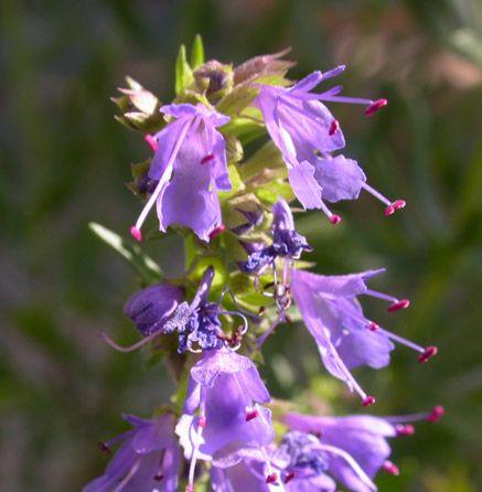 Elixir Floral Hysope Bio Hysope Elixir Floral Fleurs Sauvages
