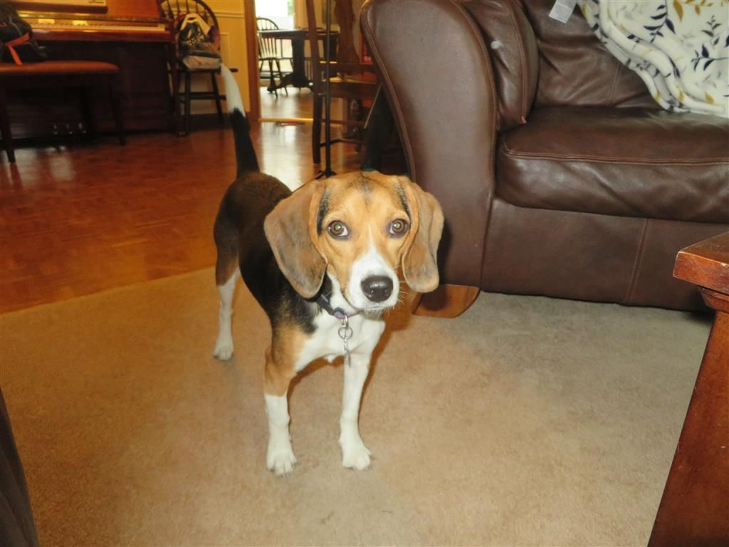 Lost Dog Beagle London On Canada Losing A Dog Losing A Pet Dogs