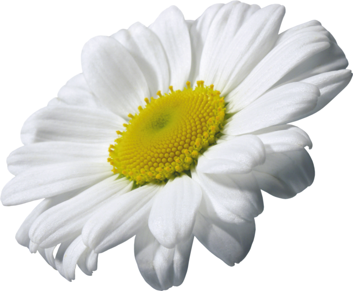 Camomile PNG image, free flower picture image with