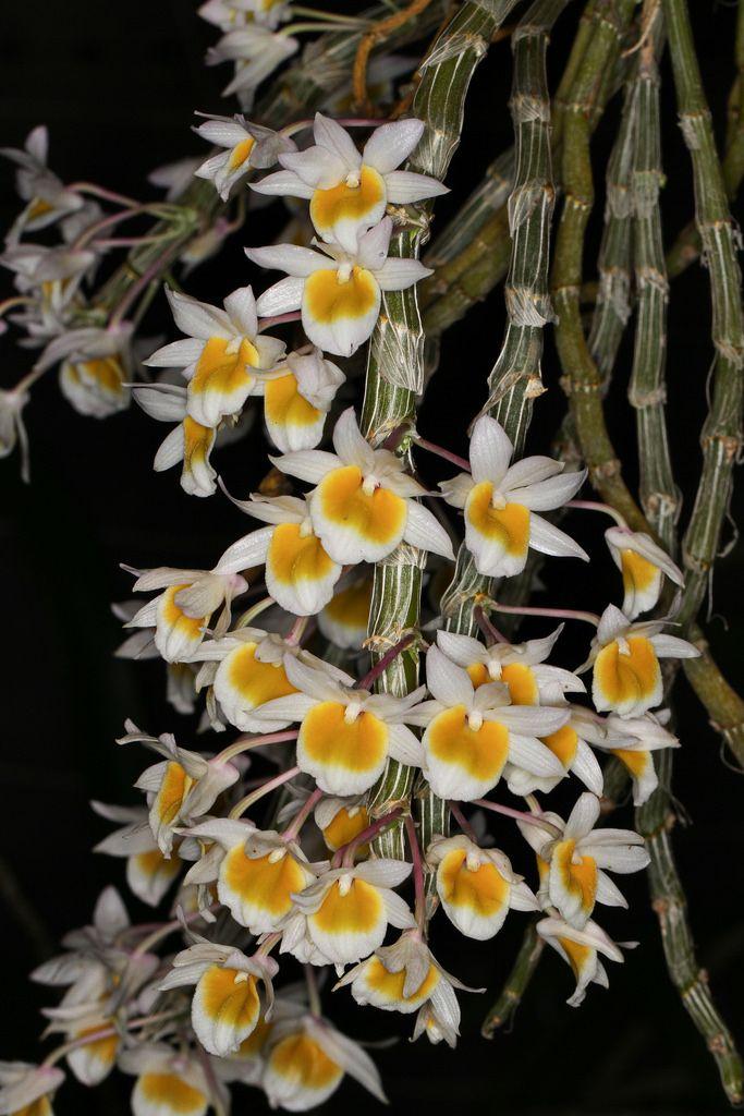 Dendrobium crepidatum - Flickr - Photo Sharing!