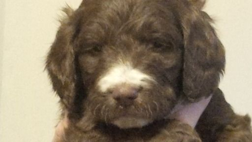Litter Of 7 Springerdoodle Puppies For Sale In Providence Ri Adn