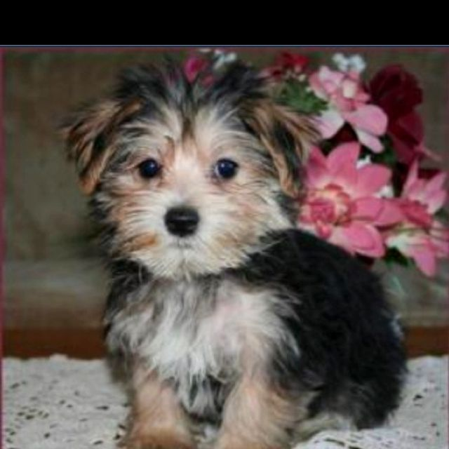 Morkie My Dream Dog Morkie Puppies Morkie Cutest Dog Ever