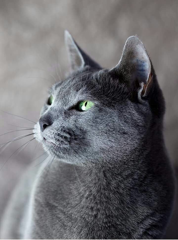 Pin By Beautiful Gracie On Cats Russian Blue Grey Cat Names Russian Blue Cat Personality