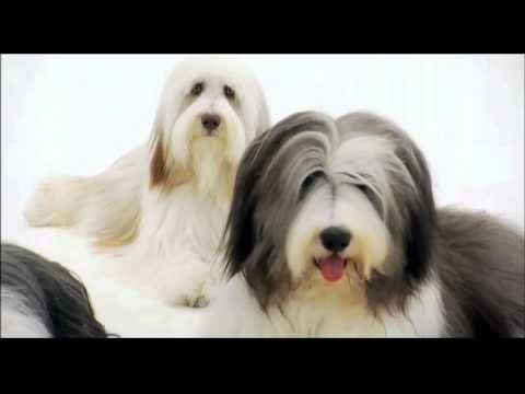 Dogs 101 Bearded Collie Youtube Bearded Collie Dogs 101 Dogs