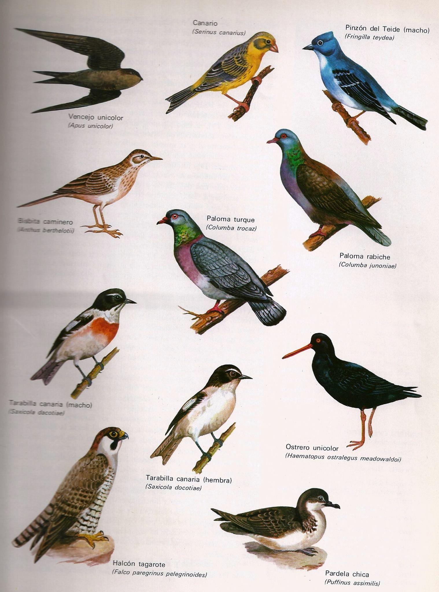 Pin de Roman Roman en ..Aves endémicas de Macaronesia (Canarias ...