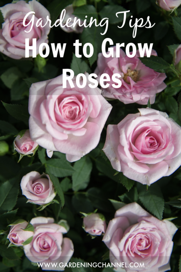 How to Grow Roses is part of Growing roses, Wedding advice, Beautiful beach wedding, Wedding tips, Rose photos, Pink roses - Roses are not the easiest plants to grow, but they are one of the most satisfying  Whether you enjoy them in the garden or cut them for indoors, watching a rose open petalbypetal and smelling its sweet fragrance is a true delight for any gardener  Volumes have been written on the types of roses and […]