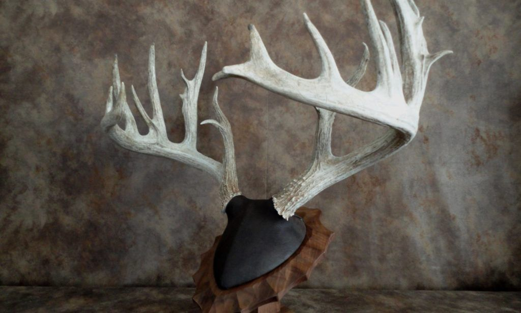 Classic antler mounts taxidermy moose skull taxidermy