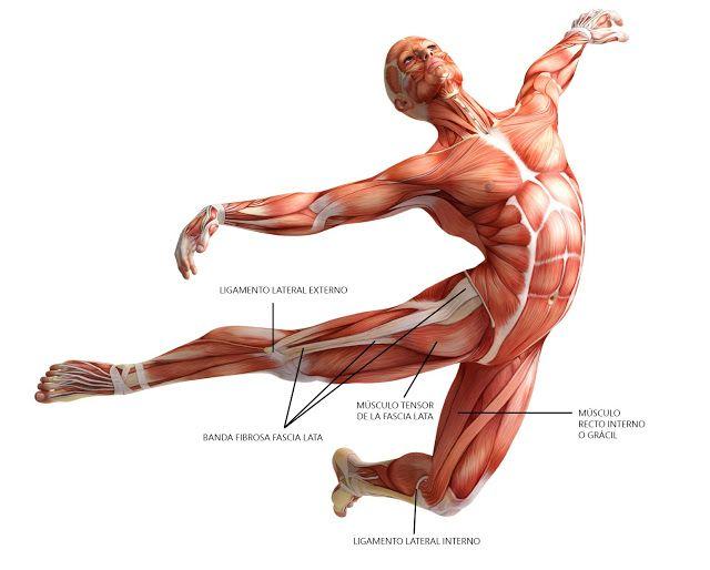 Localización del músculo recto interno o grácil, fascia lata ...