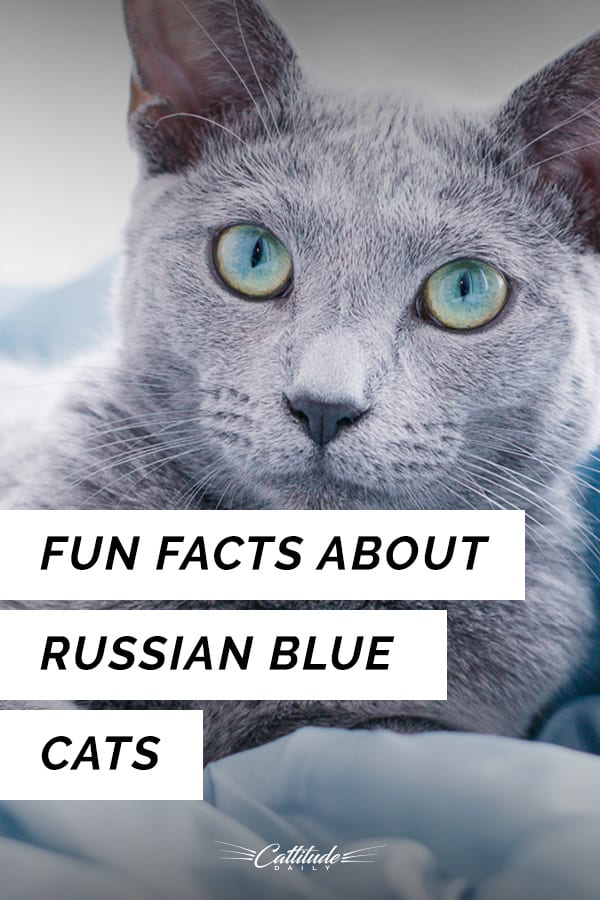 Fun Facts About Russian Blue Cats Blue cats, Russian