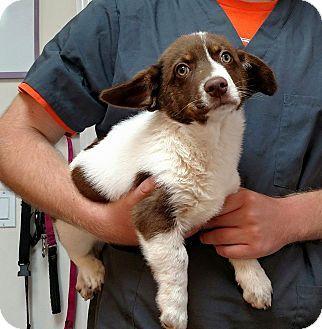 Seneca Sc Corgi Mix Meet Jack 250 A Puppy For Adoption Http