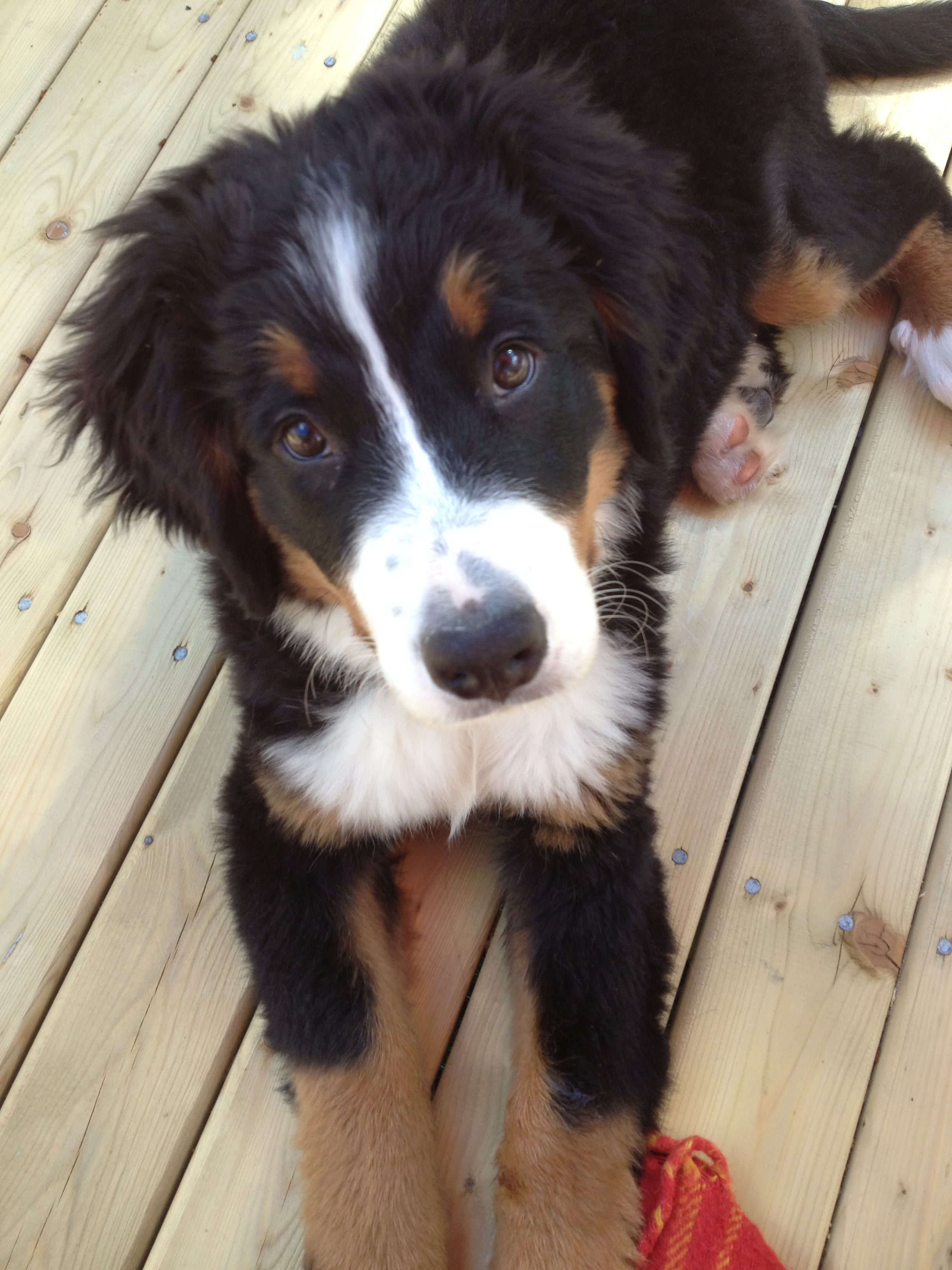 Bernese Puppy Cute Dogs Cute Animals Cute Dogs And Puppies