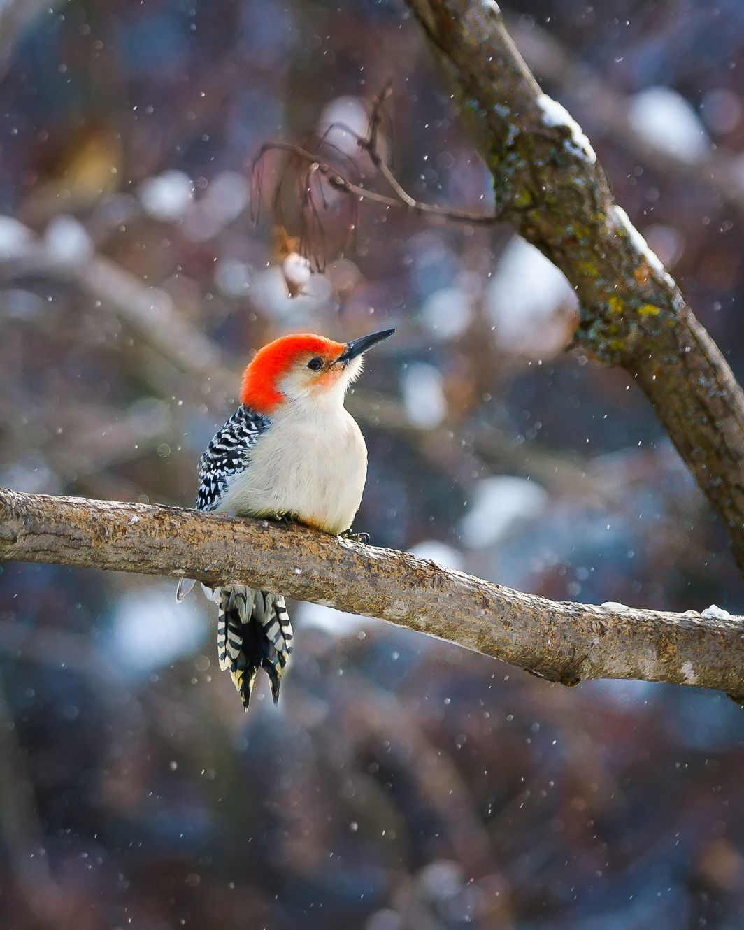 Red bellied woodpecker by Chad Briesemeister