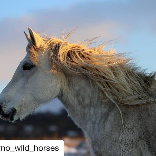 #Repost @livno_wild_horses (@get_repost)   Wild horses ...