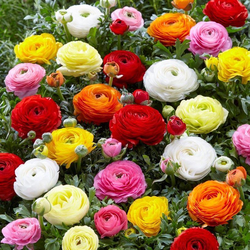 Ranunculus Bulbs Mix Flower Bulbs Eden Brothers In 2020 Bulb Flowers Spring Plants Ranunculus Flowers