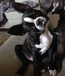 Einstein Adoption Pending Is An Adoptable Boston Terrier Dog In