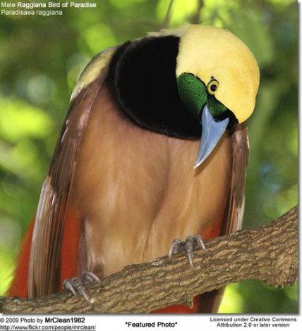 40 ideas bird of paradise pose search bird  bird of