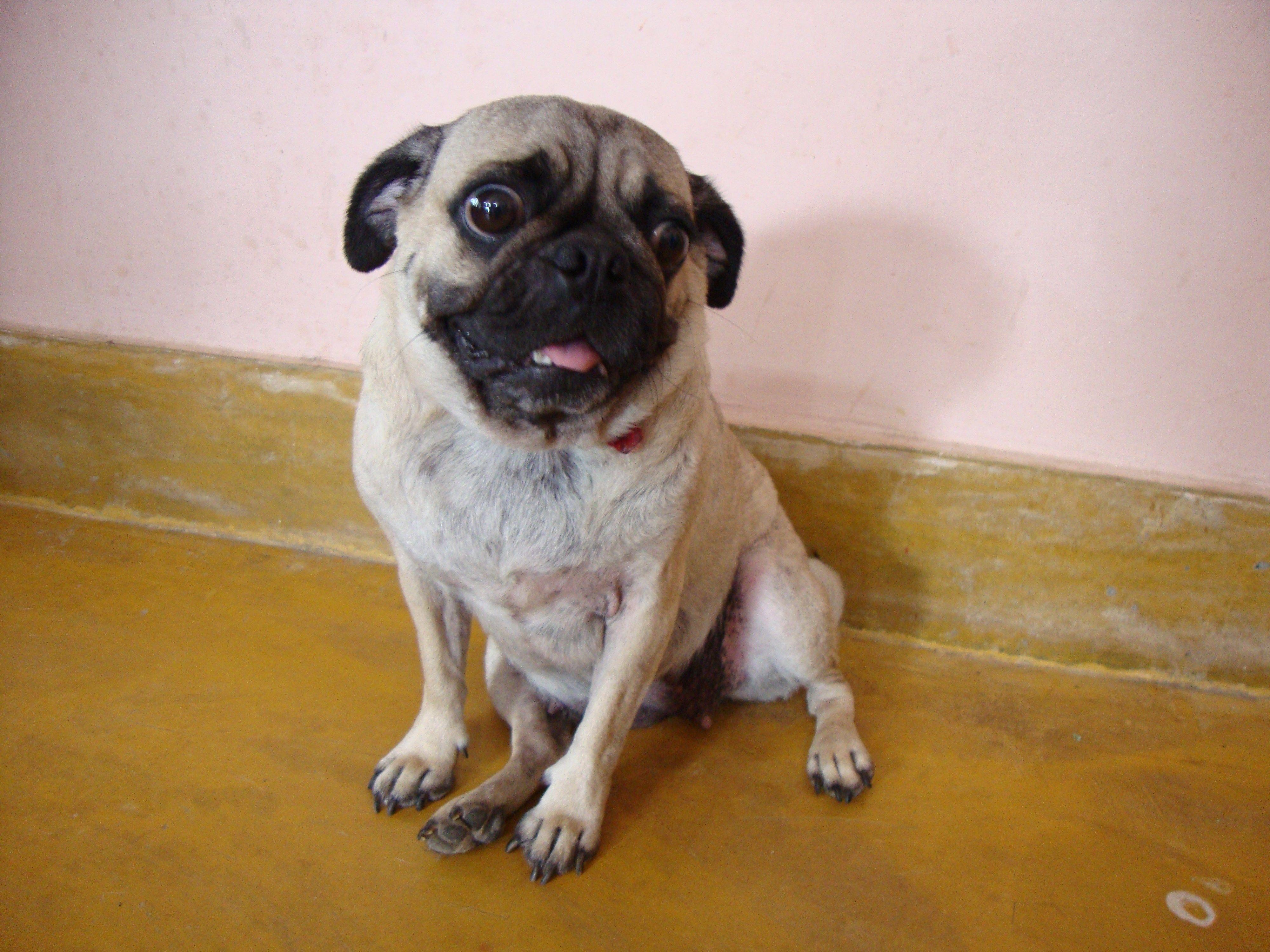 Free Download Pug Wallpapers Hd Pug Wallpaper Animals Pugs