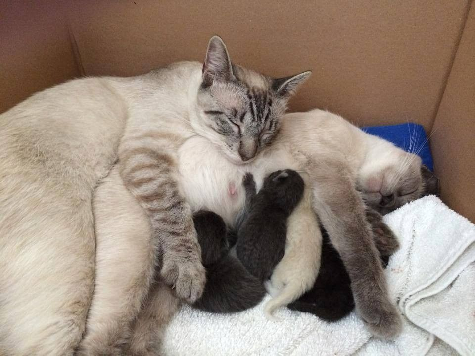 A Bonded Siamese Pair Was Separated When They Were Abandoned At The Shelter When They Found Each Other Again At Their Ne Siamese Cats Kittens Cutest Baby Cats
