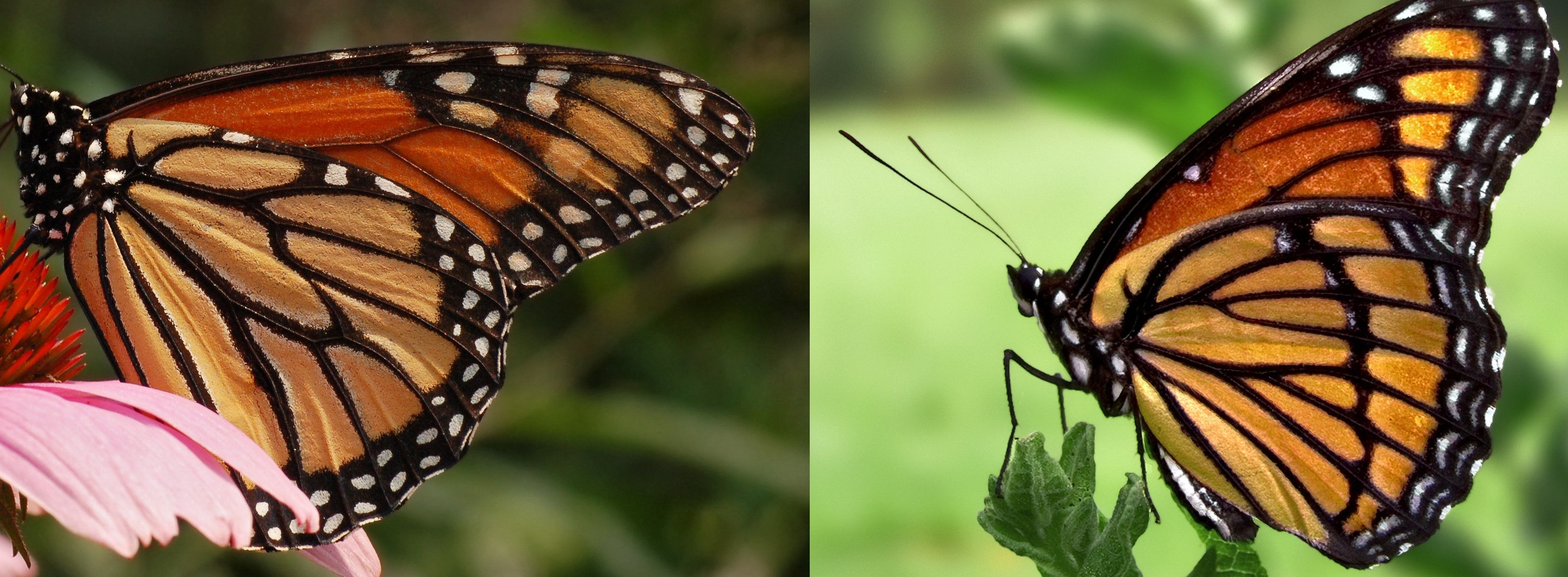 Camouflage Vs Mimicry Which One Is This