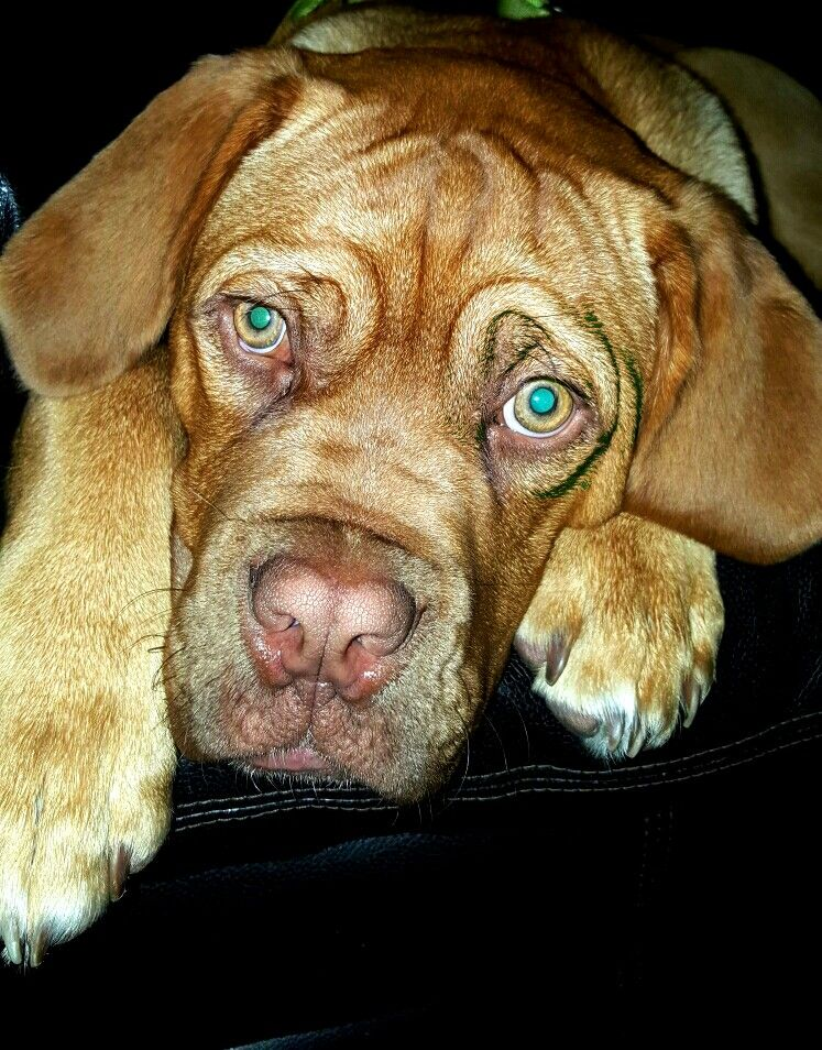 Dogue De Bordeaux My Baby 5 Month Old French Mastiff Benny
